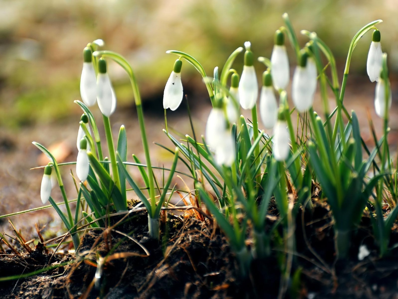 snowdrops-flowers-primroses-spring-leaves-earth
